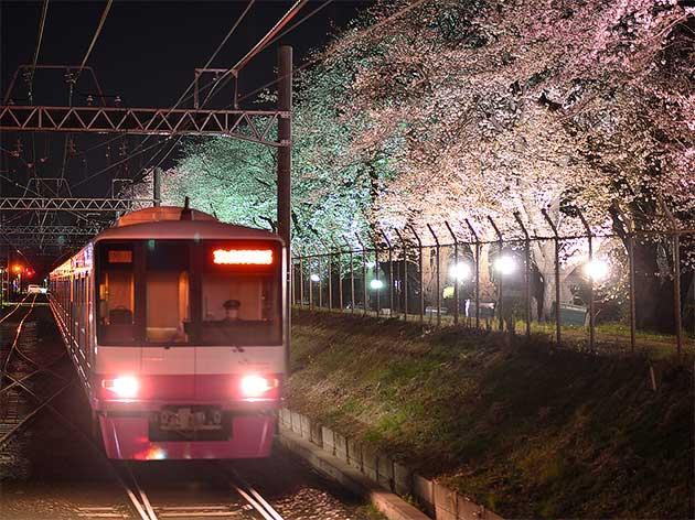 新京成電鉄,線路脇の桜並木をライトアップ