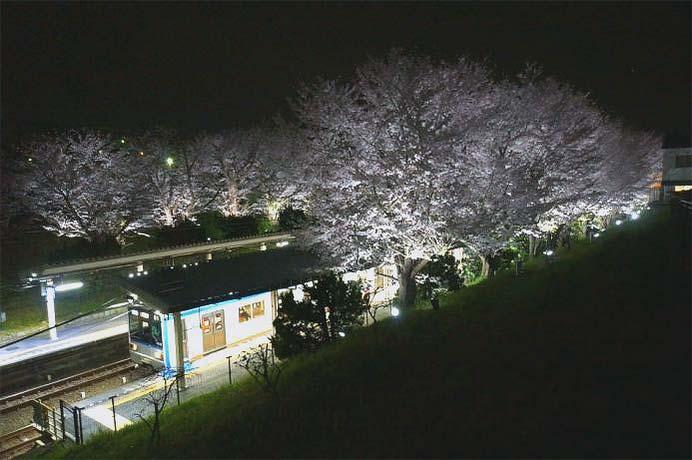 相模鉄道,弥生台駅の桜をライトアップ